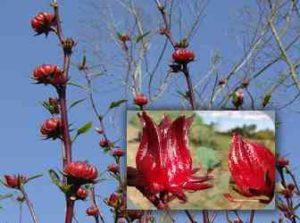 flor de jamaica beneficios salud1