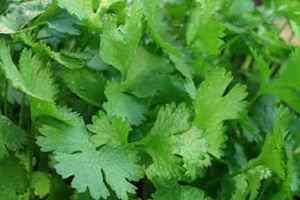 planta de cilantro