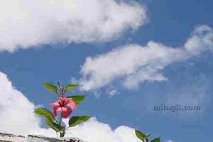 Flor de cayena jardín