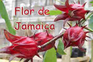 Flor de Jamaica para Adelgazar