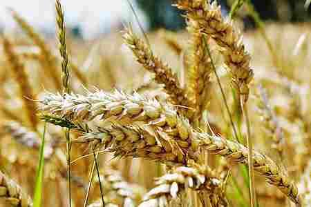 Germen de trigo – propiedades para la salud – Recetas