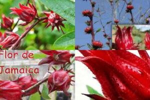 donde encontrar la flor de Jamaica